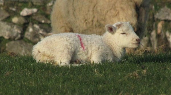 New Season lamb born in March 2014 enjoying the lovely warm sunshine