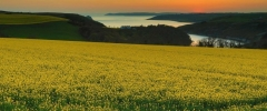 Sunset - Rapeseed
